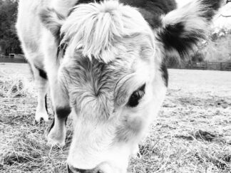 Sweet, fluffy looking face of a spotted cow in black and white print on canvas